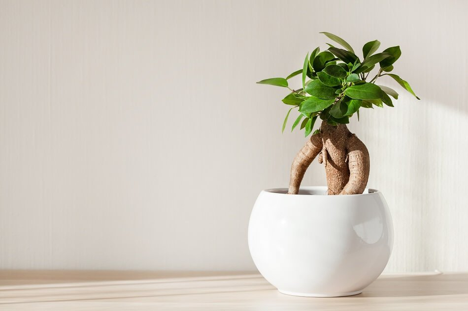 Ficus Ginseng Plant to bring positive Feng Shui