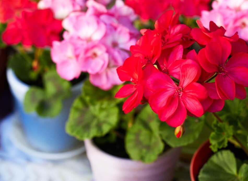 Geraniums Best Plants for the Front Door in Feng Shui