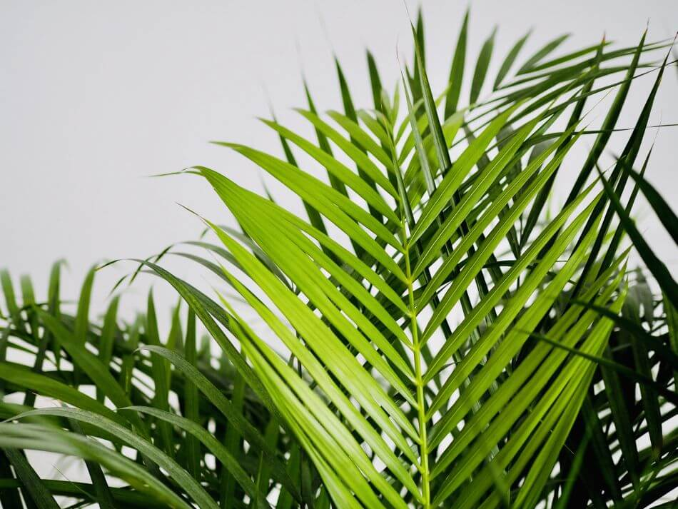 How to Care for Areca Palm Plants