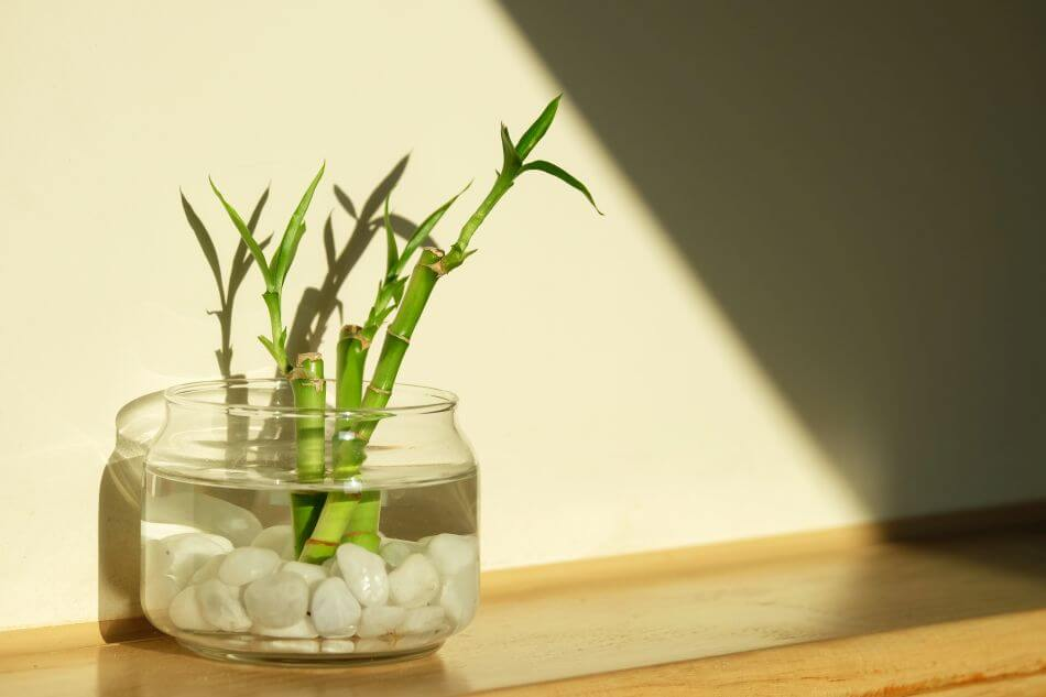 How to Grow Lucky Bamboo Plants at Home