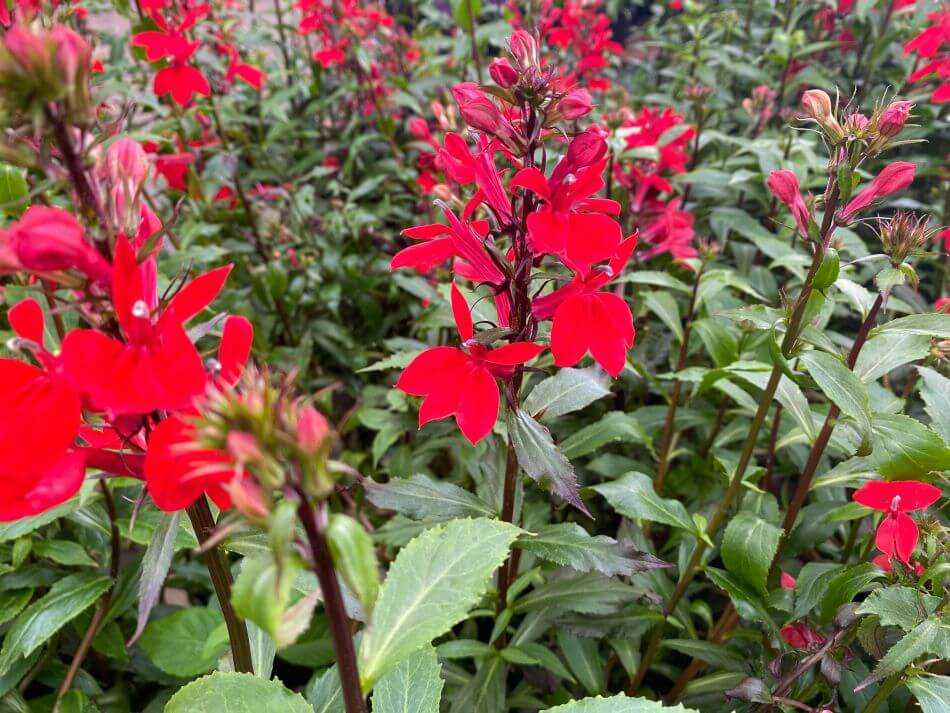 How to Grow and Care for Cardinal Flowers at Home