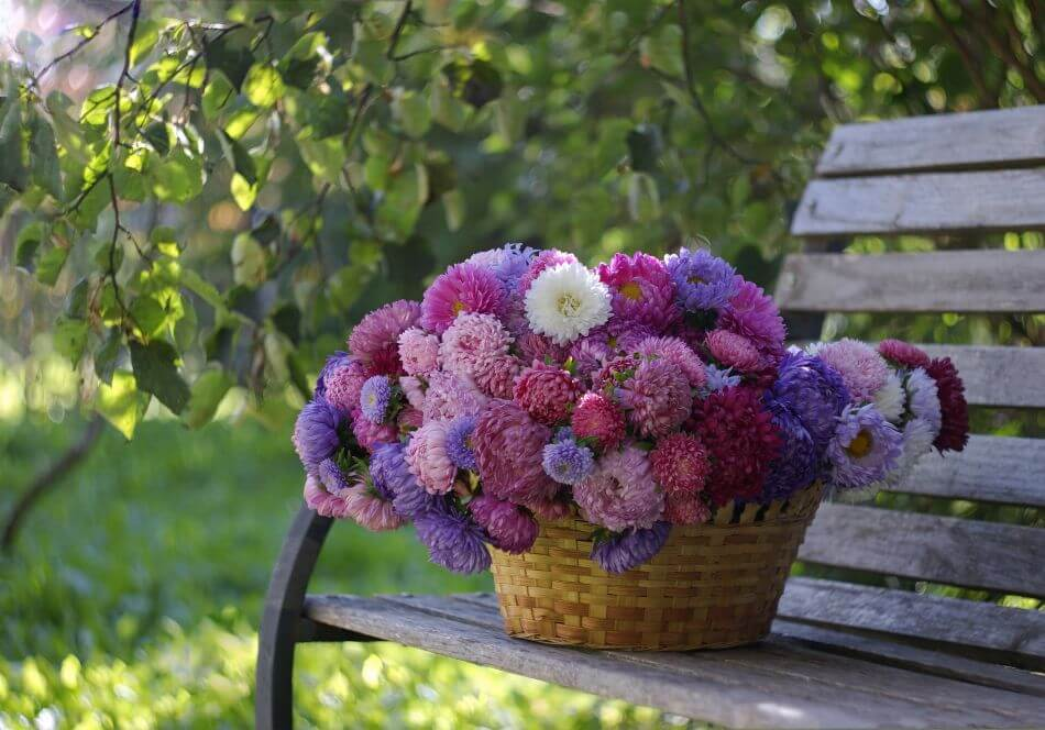 How to Grow and Care for China Aster Flowers at Home