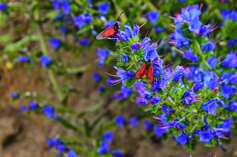 How to Grow and Care for Viper's Bugloss Flowers at Home