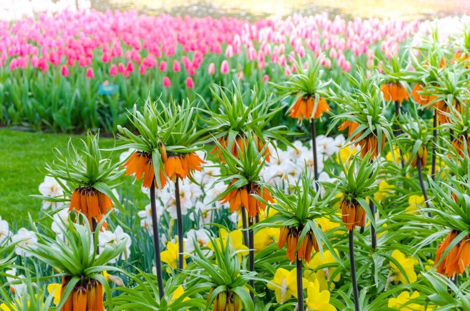 Iran's Fritillaria Flower Mythology and History