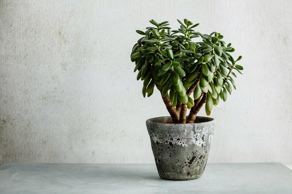 Jade Plant Feng Shui