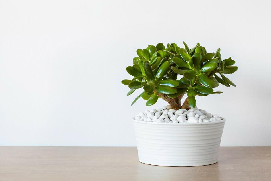 Jade Plants Best Plants for the Front Door in Feng Shui