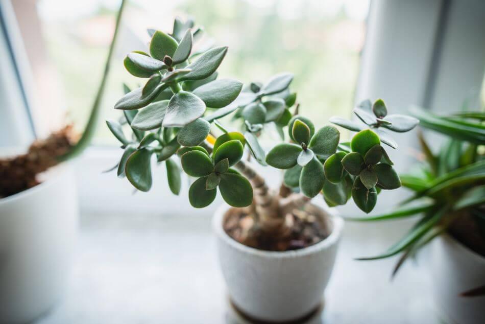 Jade Plants (Crassula ovata)