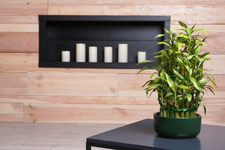 Lucky Bamboo Best Plants for the Front Door in Feng Shui