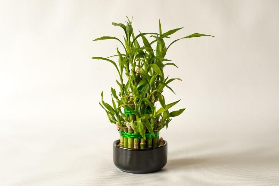 Lucky Bamboo Botanical Characteristics