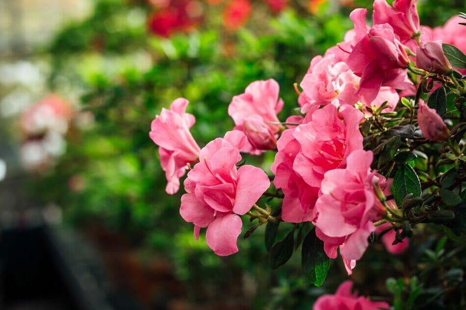 Mad Honey & Azalea Flowers
