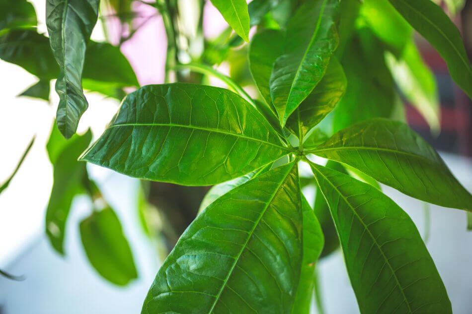 Money Plant (Pachira aquatica)