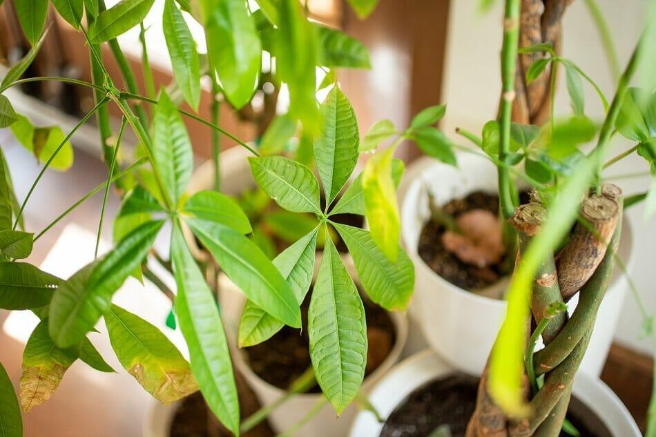 Money Tree Best Plants for the Front Door in Feng Shui