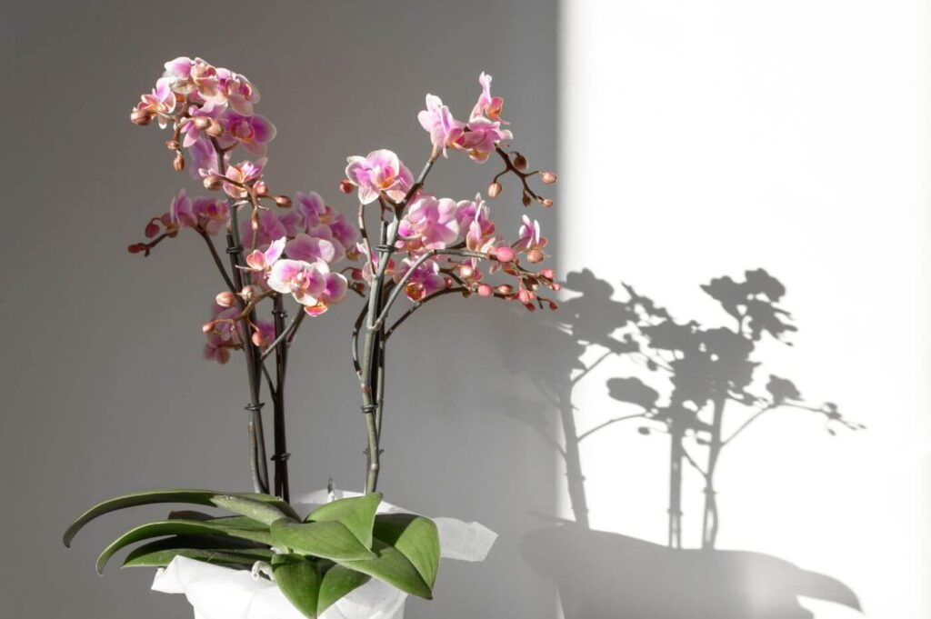 Orchid Plant Light Requirements (Essential Tips)