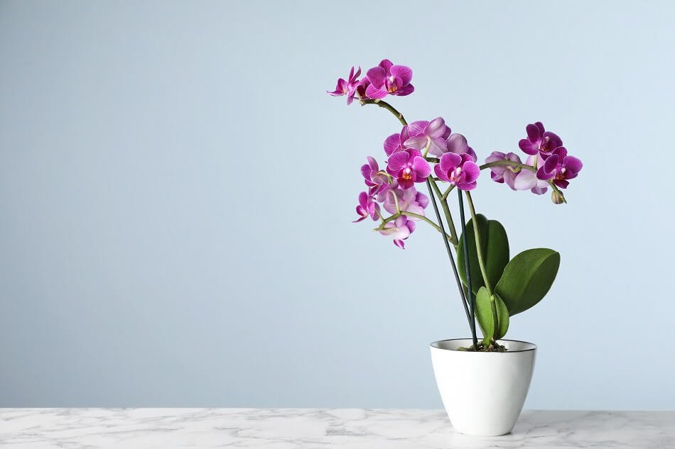 Orchid Plants Feng Shui