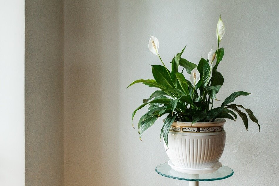 Peace Lily Plants for Feng Shui