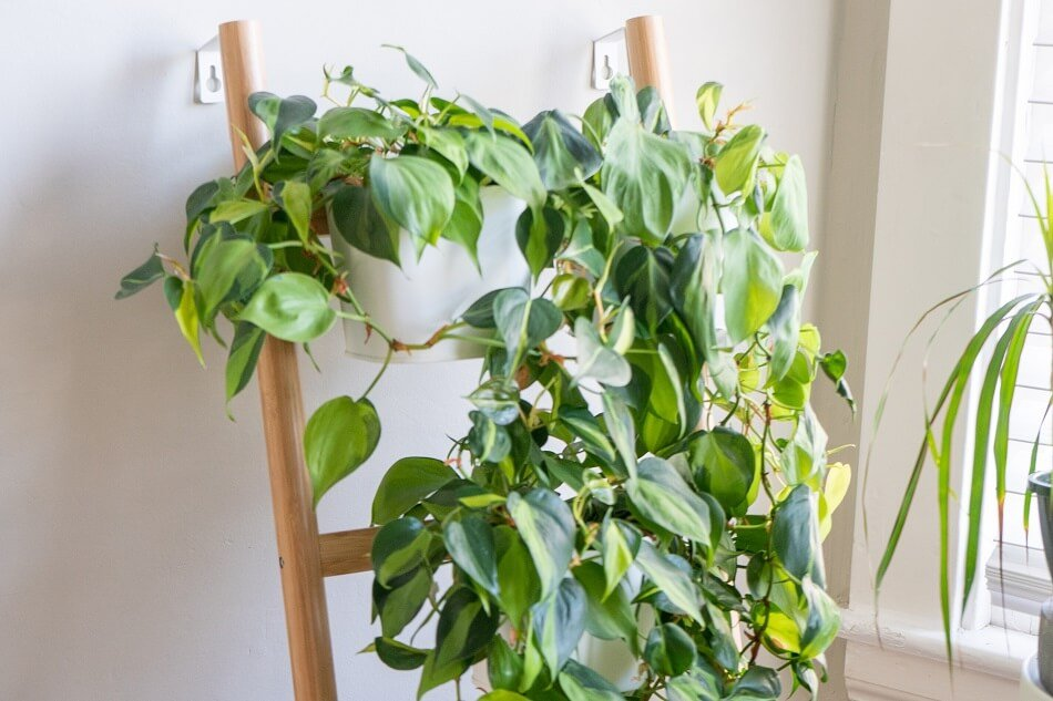 Philodendron Plants for Feng Shui