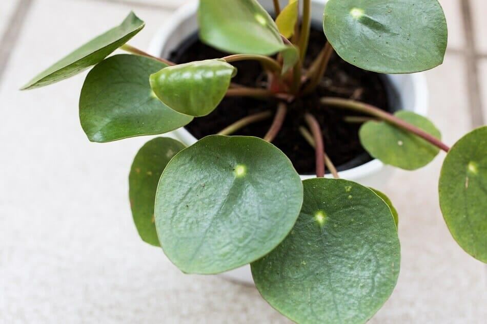 Pilea Peperomioides Botanical Characteristics