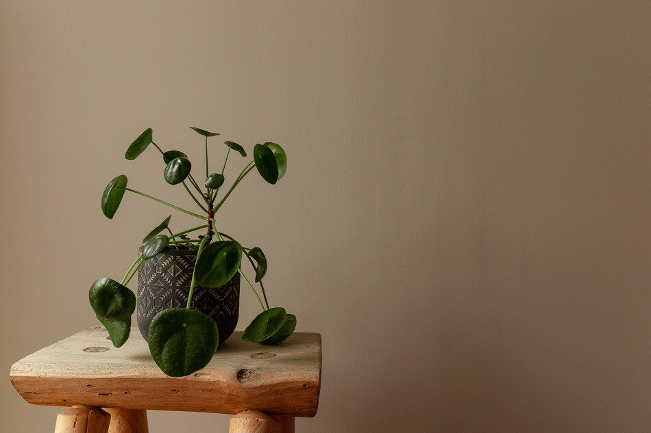 Pilea Peperomioides Meaning & Symbolism