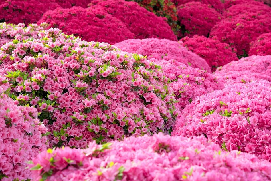 Popular Azalea Types, Species and Cultivars