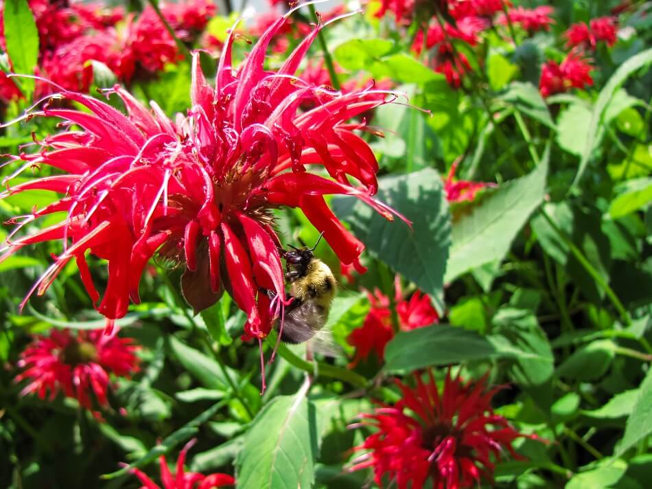 Popular Bee Balm Types, Species, and Cultivars