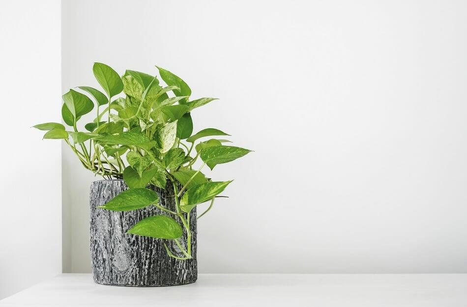 Pothos Plants Best Plants for the Front Door in Feng Shui