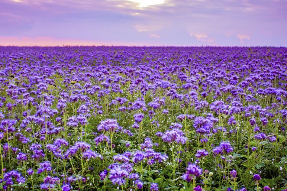 Purple Flowers in Victorian Times