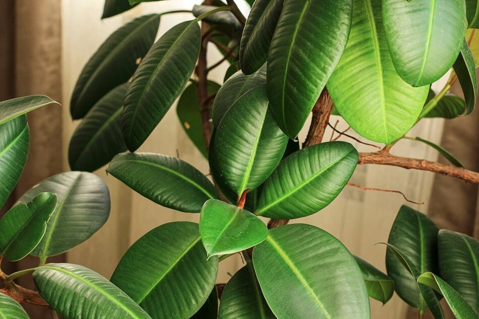 Rubber Tree Plant Feng Shui