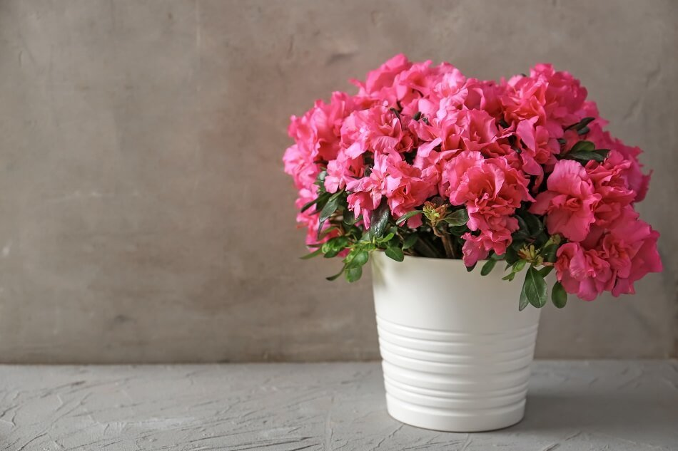 Suitable Gifting Occasions for Azalea Flowers