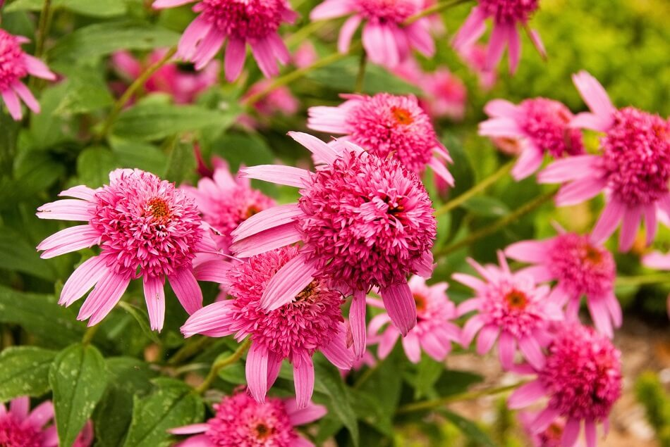 Suitable Gifting Occasions for Bee Balm Flowers