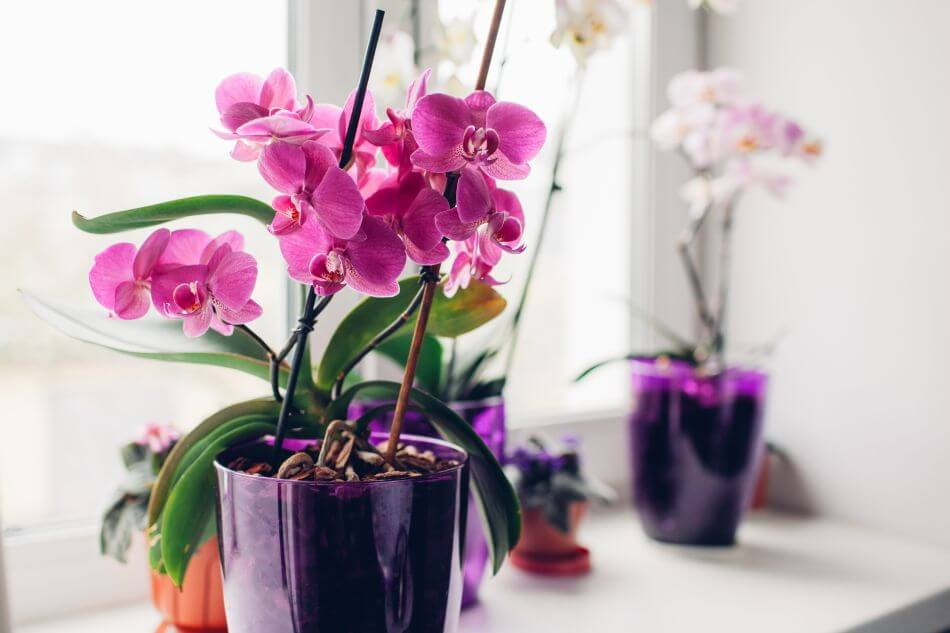 The Best Light Exposure for Orchid Plants Grown Indoors