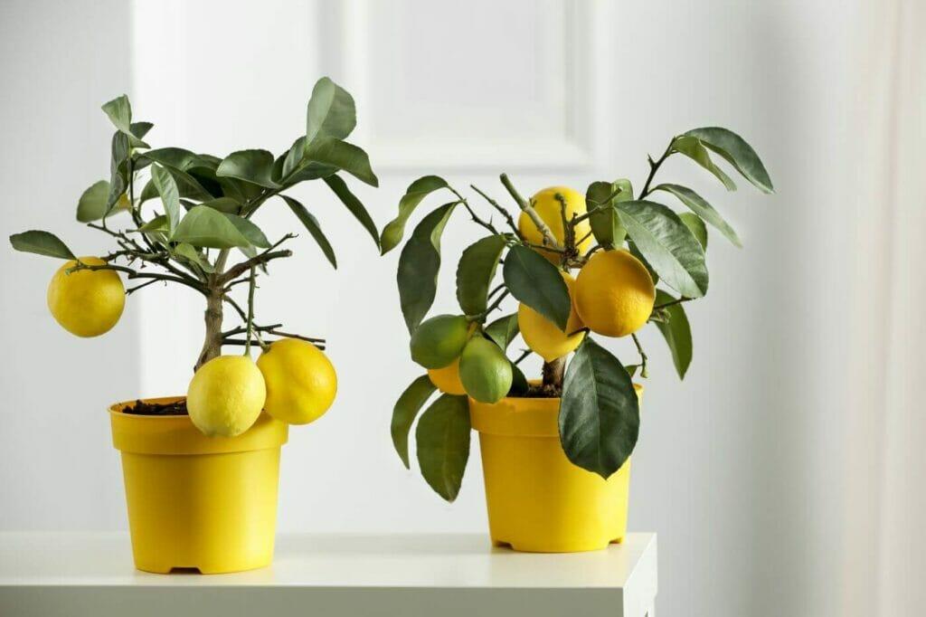 The Best Soil for Indoor Citrus Trees