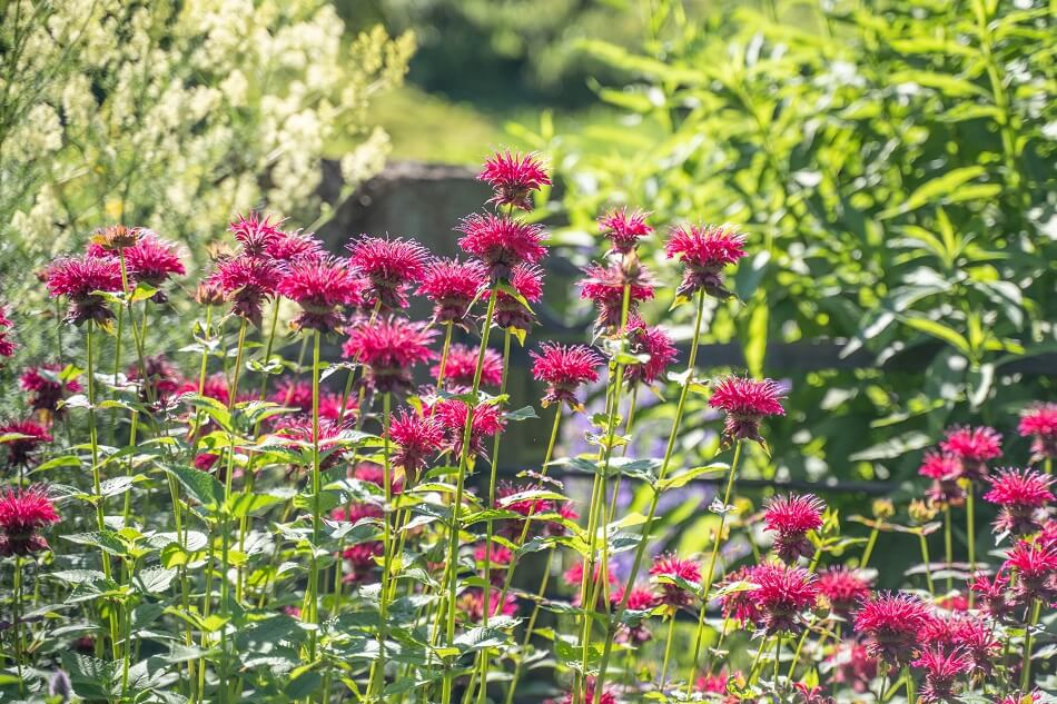 The Cultural Significance of Bee Balm Flowers