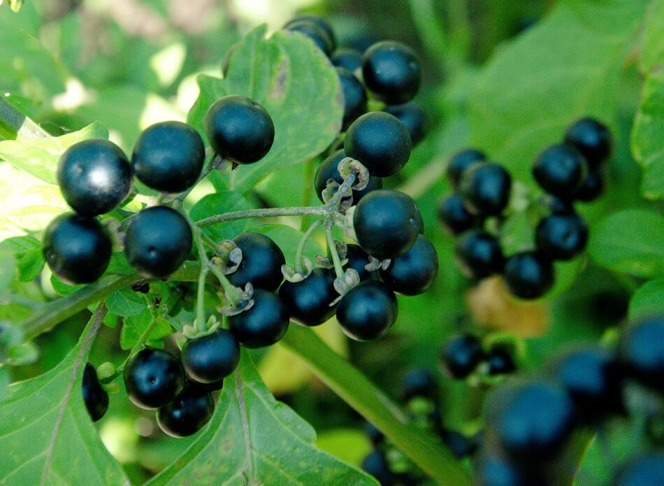 The Cultural Significance of Deadly Nightshade