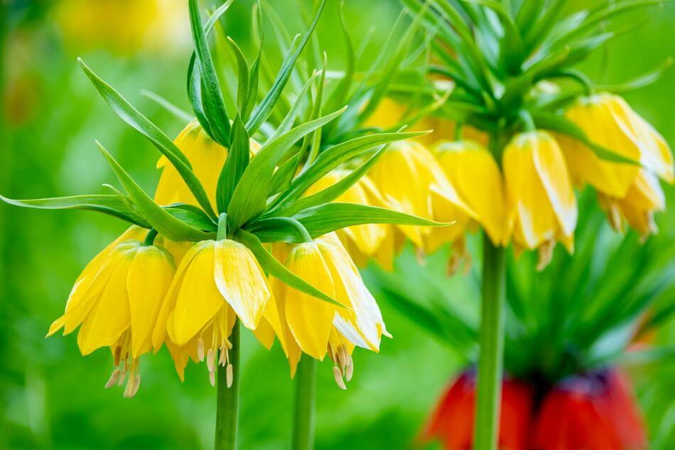 The Cultural Significance of Fritillaria Flowers