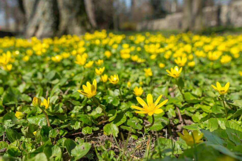The Cultural Significance of Lesser Celandine