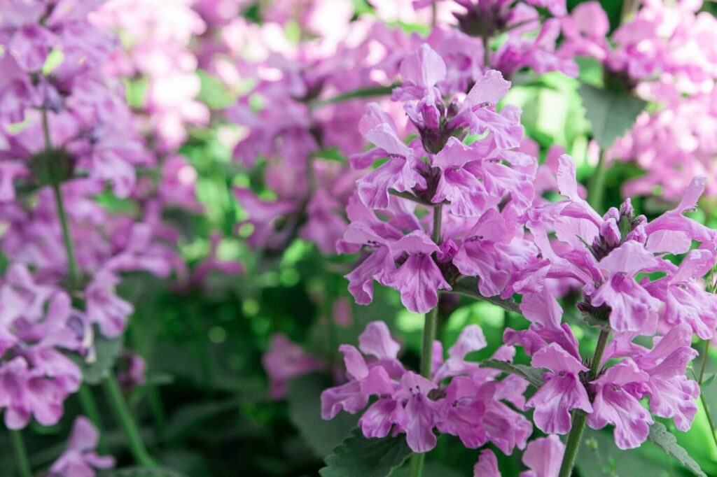 Ultimate Guide to Betony Flowers (Betonica officinalis)