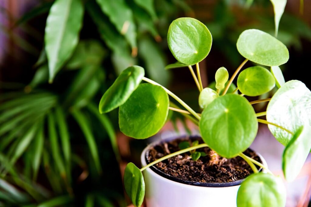Ultimate Guide to Pilea Peperomioides Plant Care at Home