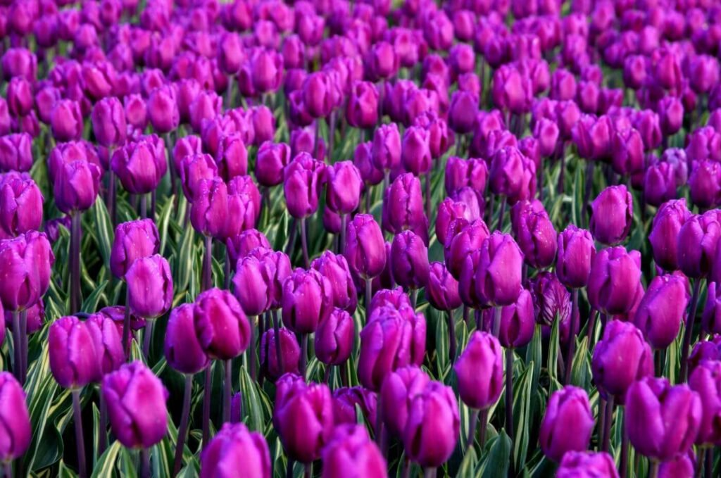 Ultimate Guide to Purple Flower Meaning and Symbolism