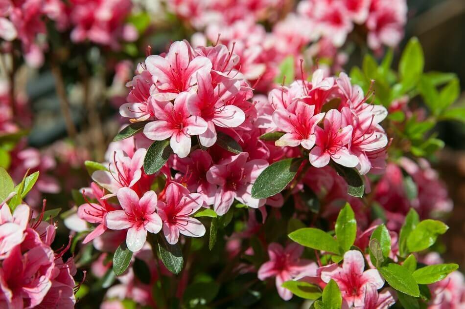 Uses and Benefits of Azalea Flowers