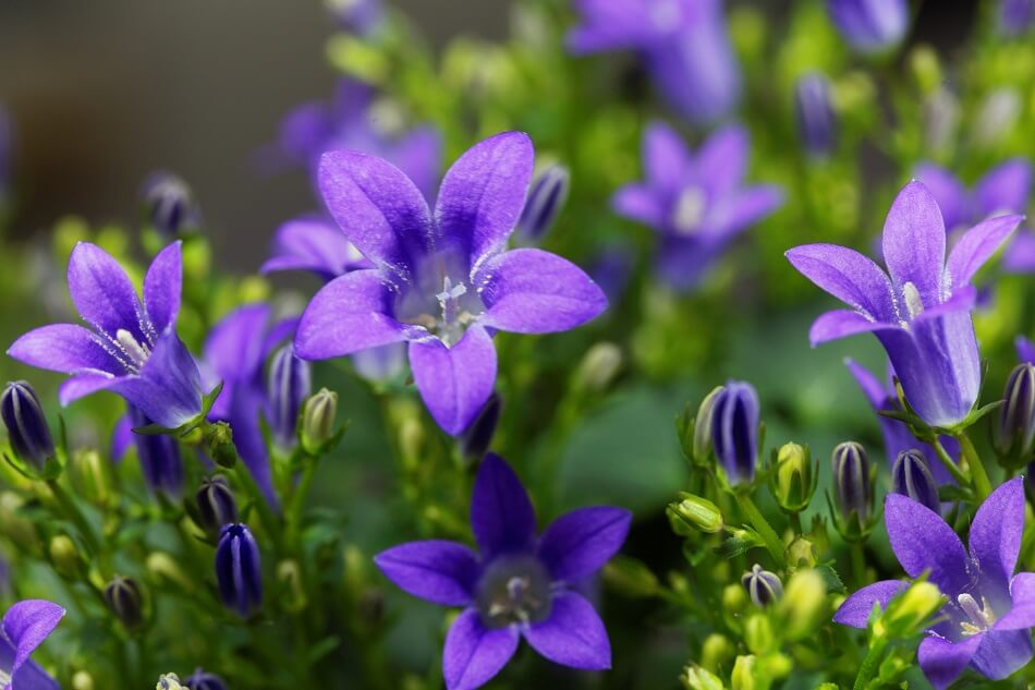 Uses and Benefits of Bellflowers