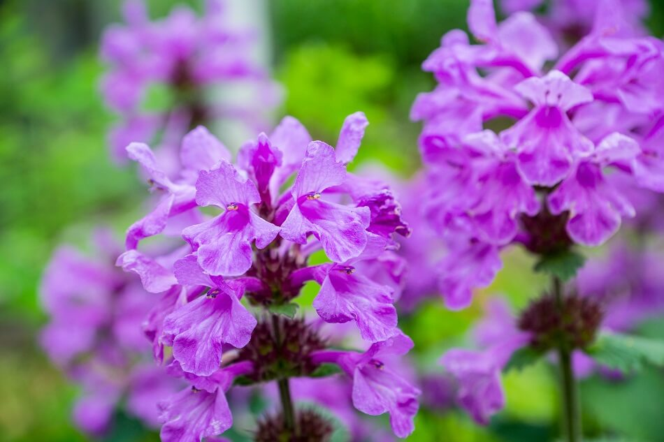 Uses and Benefits of Betony Flowers