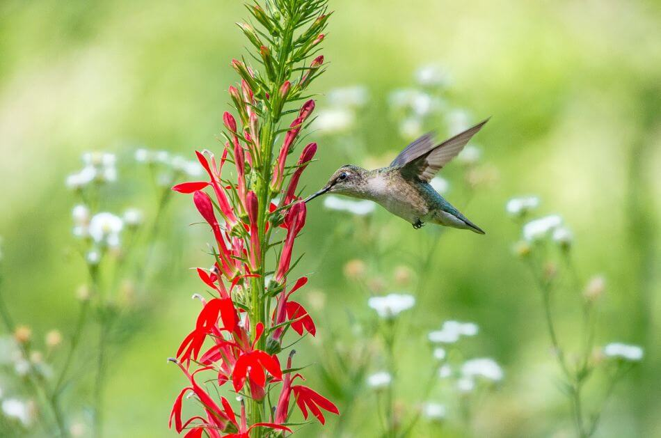 Uses and Benefits of Cardinal Flowers