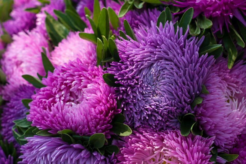Uses and Benefits of China Aster Flowers