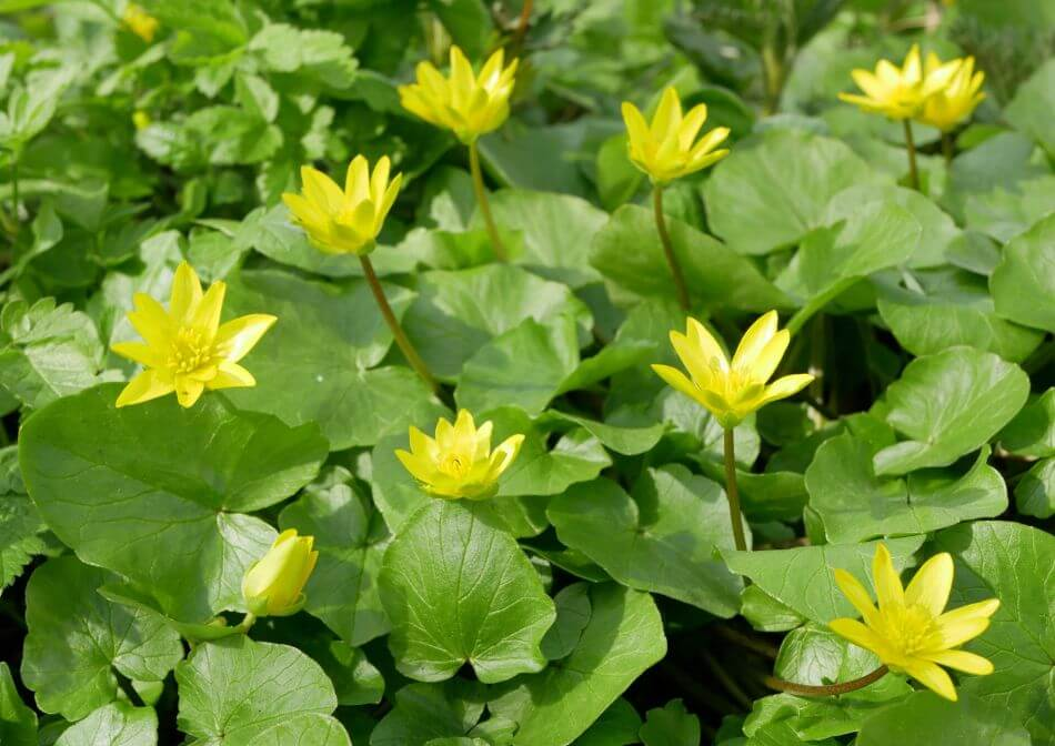 Uses and Benefits of Lesser Celandine Flowers