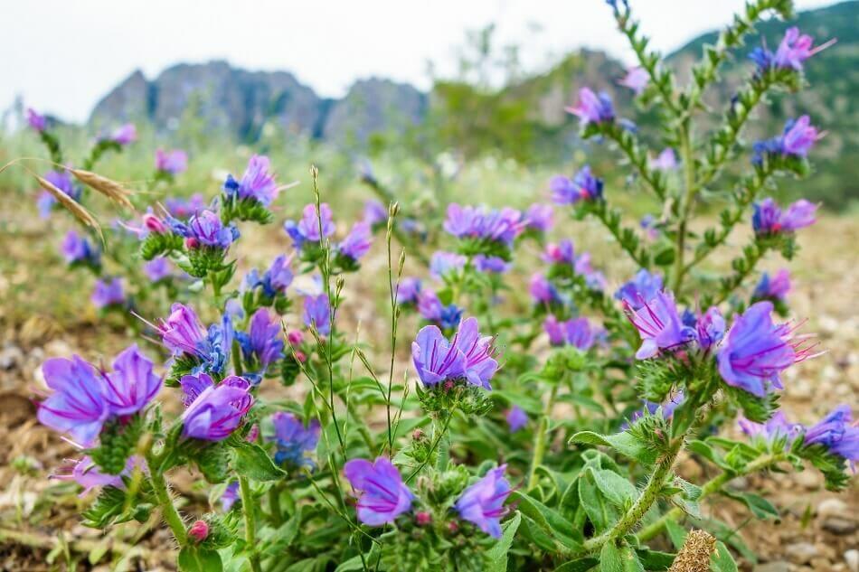 Uses and Benefits of Viper's Bugloss (Echium vulgare)