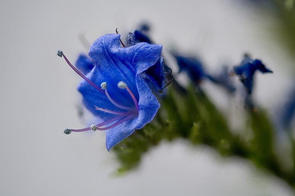 Viper's Bugloss Flower Meaning and Symbolism