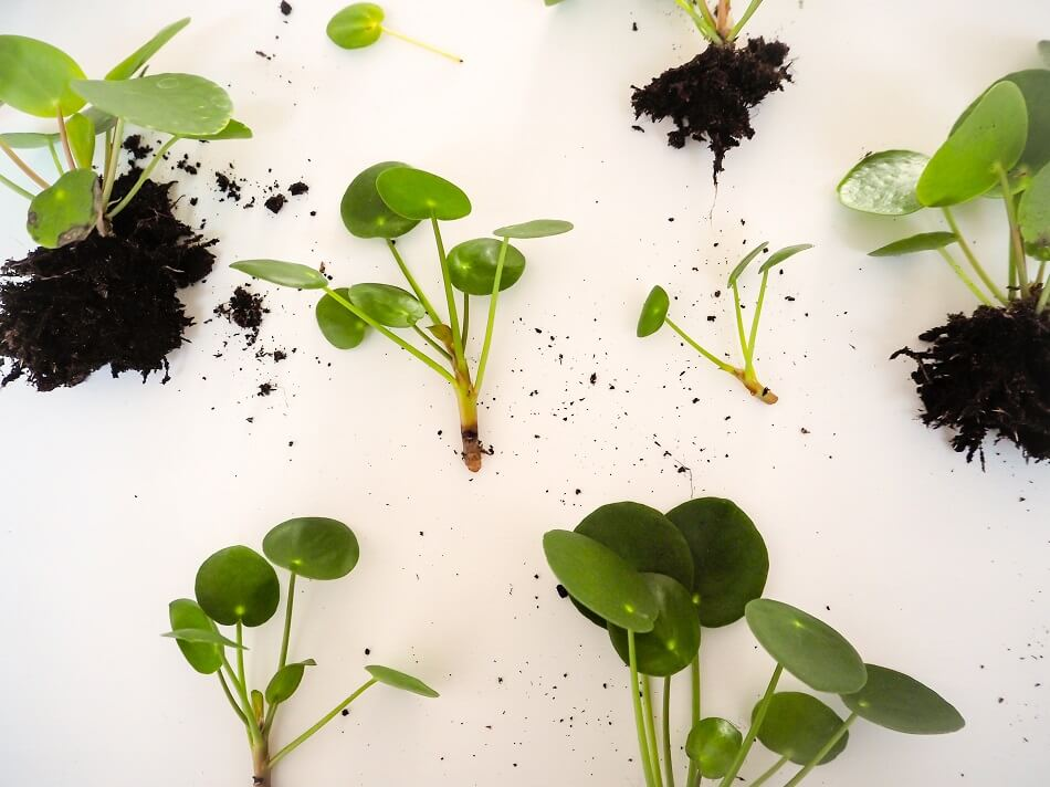 When and How to Propagate Pilea Peperomioides