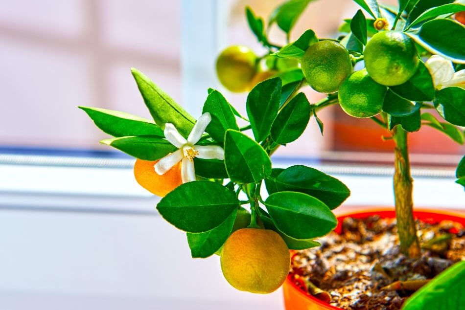 12 Common Reasons Your Citrus Tree is Dropping Leaves