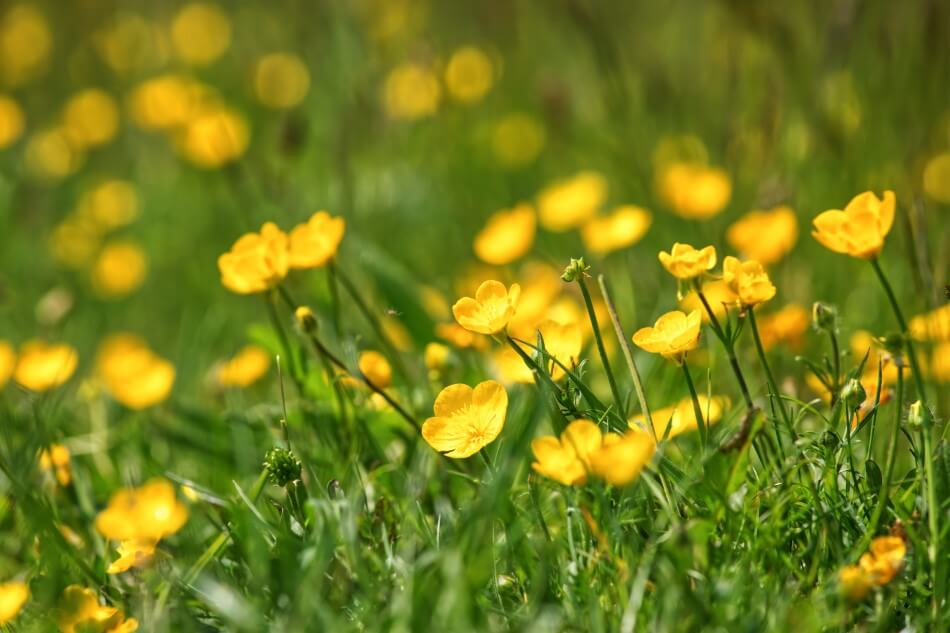 About Buttercup Flowers