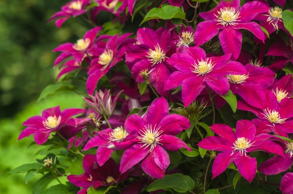 About Clematis Flowers